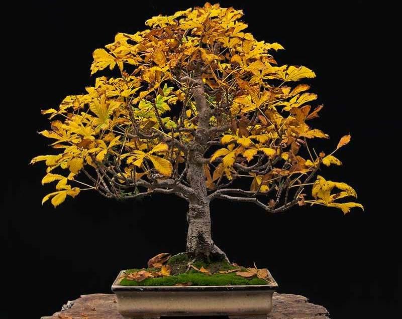 5 Best Bonsai Trees In 2021 Top Rated Indoor And Outdoor Bonsai Trees Reviewed Skingroom